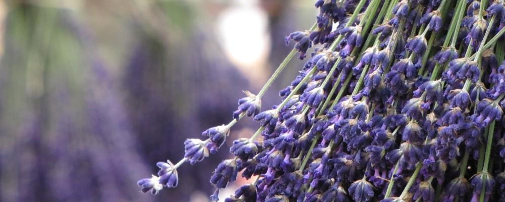 Lavendel 40002666.jpg